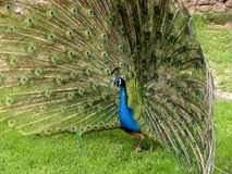 Blue peacock Royalty Free Stock Photo