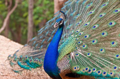 Blue peacock. Blue peacock with colorful opened feathers Stock Image