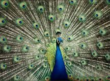 Blue Peacock. A blue peacock with his tail on display Stock Photography