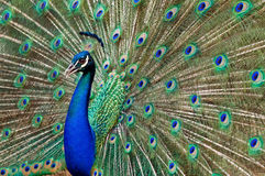 Blue peacock. Blue peacock with colorful opened feathers Stock Photos