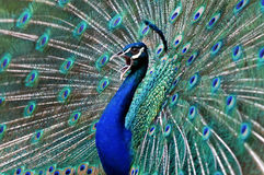 Blue peacock. Blue peacock with colorful opened feathers Royalty Free Stock Photo