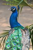 A blue peacock Royalty Free Stock Photo