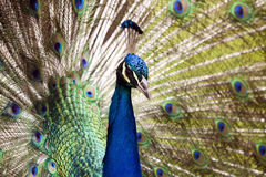Blue Peacock Stock Photography