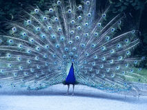 Blue Peacock Royalty Free Stock Image