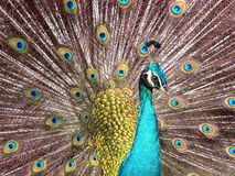 Blue Peacock. Showing off its tail Stock Image