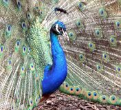 Blue Peacock Stock Photo