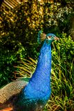 Blue peacock close up. Colorful animal royalty free stock image