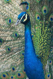 Blue peacock. The close-up of a  blue peacock. Scientific name: Pavo cristatus Royalty Free Stock Photo