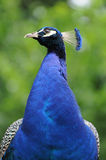 Blue peacock Royalty Free Stock Images