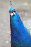 Blue peacock. Royalty Free Stock Image