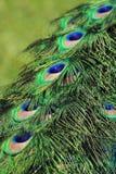 Blue peacock detail Stock Photos