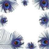 Blue Peacock Feathers. Iridescent eyes of blue peacock feathers creating a framed border over white background Stock Images