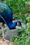 Blue peacock feeding. Blue peacock in a garden Royalty Free Stock Photography