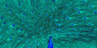 Blue Peacock Green Large Feather stock photography