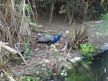 Blue peacock. Hiding in the lagoon Royalty Free Stock Photos