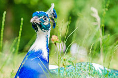 Blue peacock laying on green grass in a park Royalty Free Stock Photography