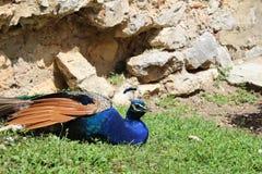 Blue peacock royalty free stock photo