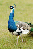 Blue peacock in park Stock Photography