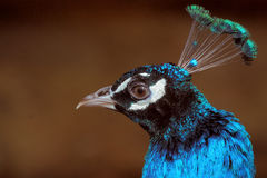 Blue Peacock/Pavo Cristatus Royalty Free Stock Images