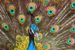 Blue Peacock/Pavo Cristatus Stock Photo