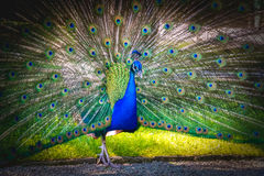 Blue peacock peafowl vignette background Royalty Free Stock Image