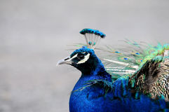 Blue peacock Stock Images
