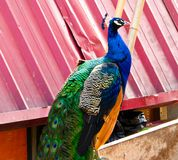 A blue peacock standing Stock Photo