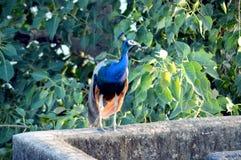 Blue Peacock Standing Near Tree Stock Image