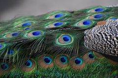 Blue peacock tile. Natural light. Color photo taken in Moscow Zoo royalty free stock photography
