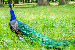 Blue peacock walking on green grass in a park Stock Image