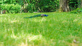 Blue peacock walking on green grass in a park Stock Photo