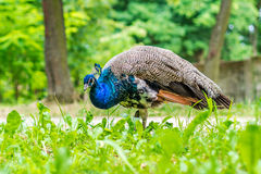 Blue peacock walking throught park Royalty Free Stock Image