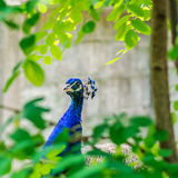 Blue peacock walking throught park Stock Images
