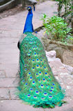 Blue peacock. On the way Stock Photos