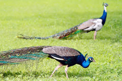 Blue peacocks Stock Photography