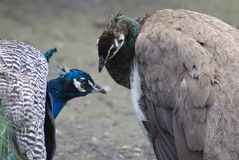 Blue peacocks. Royalty Free Stock Images