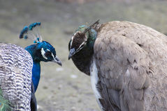 Blue peacocks. Royalty Free Stock Photography