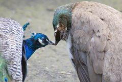 Blue peacocks. Color photo taken in Moscow Zoo royalty free stock photo