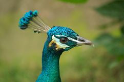 Blue peafowl Royalty Free Stock Images