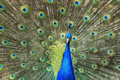 Blue peafowl Royalty Free Stock Image