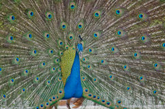 Blue peafowl Stock Photography