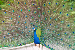 Blue peafowl. This is eye peafowl or peacock Stock Photo