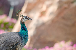 Blue peafowl Stock Images