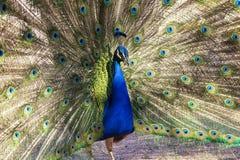 Blue peafowl Royalty Free Stock Photos