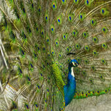 Blue Peafowl, Pavo cristatus Stock Photos