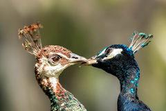 Blue peafowl (Pavo cristatus) Royalty Free Stock Photos