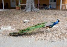 Blue Peafowl Roaming Free Stock Photo