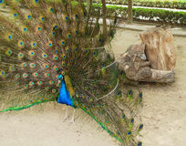 Blue peafowl Stock Photo