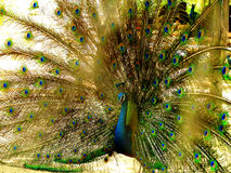 Blue peafowl Stock Image