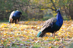 Blue Peafowls Royalty Free Stock Photography